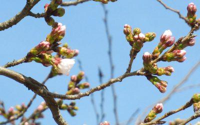 相模湖公園の桜