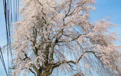 寸沢嵐のしだれ桜が満開