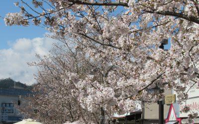相模湖公園の桜 その2